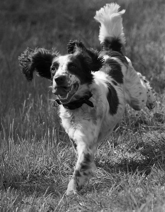 Daisy The Spaniel